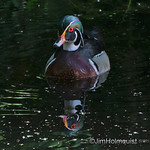 Wood Duck - taken near Olympia, Wa in May.