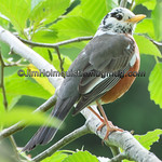 Leucicistic American Robin - near Olympia, Wa. There were several other Robins in the same area that also had white on their heads to a lessor extent. I'm guessing they they may have been family members. Taken in 2010.