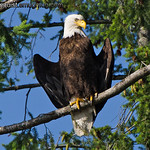 American Bald Eagle - catching some rays near Olympia, Wa. Taken in 2012.