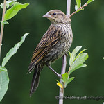 Red-winged Blackbird female - near Olympia, Wa. Taken in 2012.