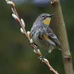 Yellow-rumped Warbler - near Olympia, Wa. Taken in 2011.