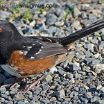Western Spotted Towhee - near Olympia, Wa.