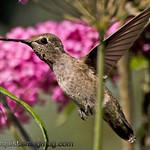 Anna's Hummingbird - taken in July near Olympia, Wa