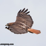 Red-Tailed Hawk - near Olympia, WA