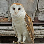 Barn Owl - near Idaho Falls, Id.