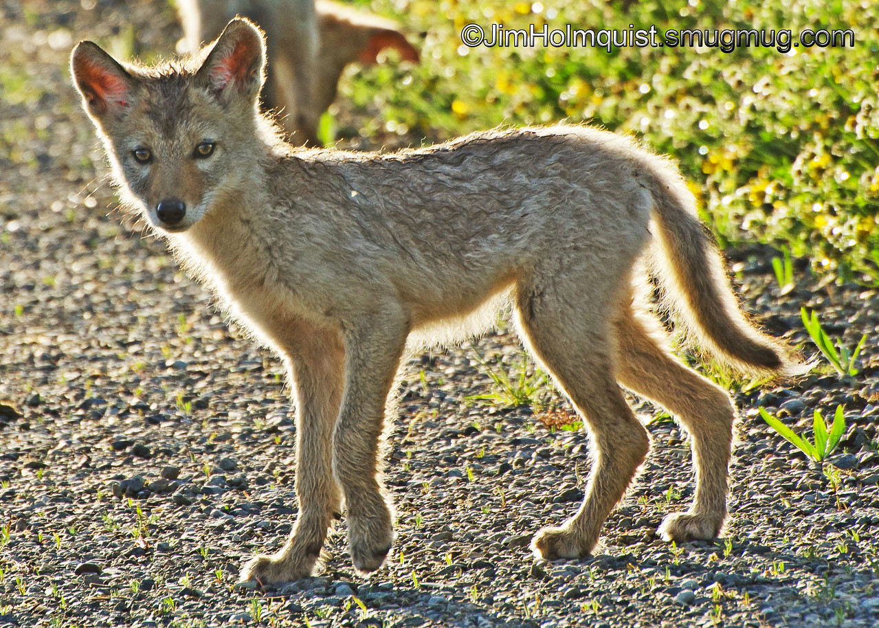 Coyote Pup - Nisqually Wildlife Refuge near Olympia, Wa