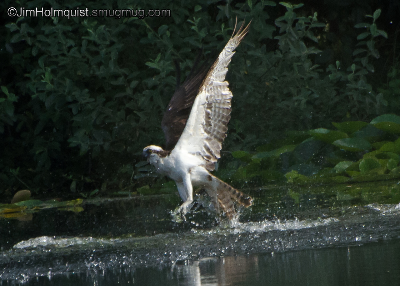 Osprey - diving for a fish making a nice splash but missed this time near Olympia, Wa