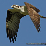 Osprey - near Olympia, Wa. Taken in June.