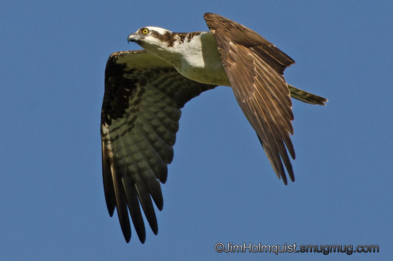 Osprey - near Olympia, Wa. Taken in June.