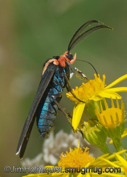 Red-Shouldered Ctenucha moth - taken near Olympia, Wa.