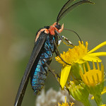 Red-Shouldered Ctenucha moth - taken near Olympia, Wa.
