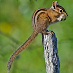 Chipmunk - taken last summer in a park near Olympia, Wa.