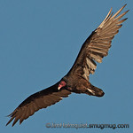 Turkey Vulture - Birds of Prey area near Kuna, Id. Taken in 2010.