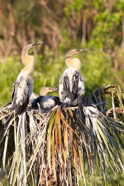 Three More Young Anhingas Waiting for Food
