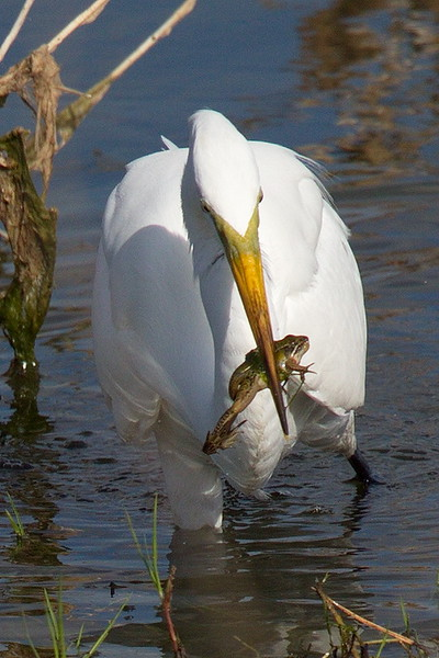 Great Egret with Frog