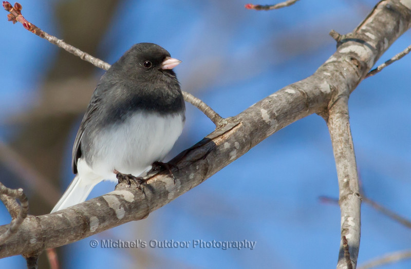 Male Dark-eyed Junco Marion County Missouri