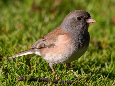 Pink sided Junco