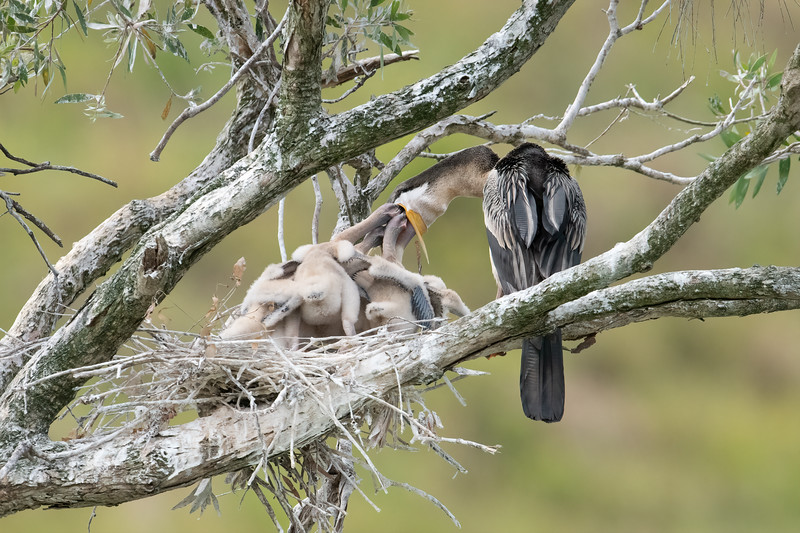 Australasian Darters (Anhinga novaehollandiae)