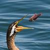 Australian darter (Anhinga novaehollandiae)