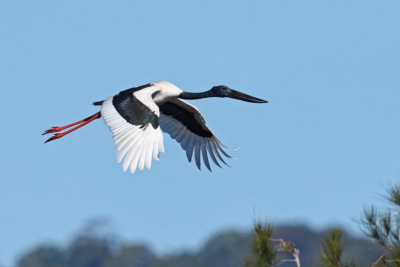 Jabiru/Black-necked Stork ( Ephippiorhynchus asiaticus)