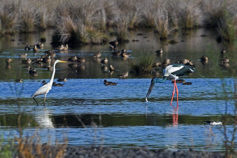 Jabiru_(Black-necked Stork)