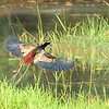 Lousy photo Bronze-Winged Jacana in flight for Gerard.  long distance 100 crop