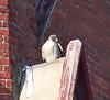 Peregrine Falcon on Congregational Church