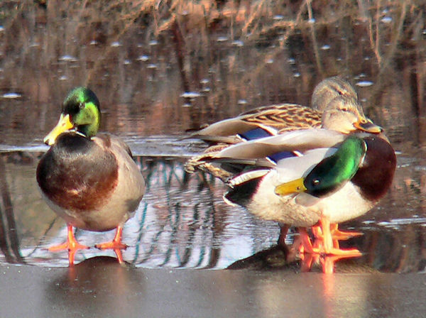 Mallards at Mill Road