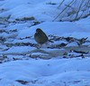 American Pipit with frantically bobbing tail flew  at the Sparrow