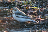 Another Snow Bunting at Town Beach, West Island