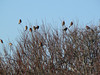 Some of large flock of House Finches at West Island