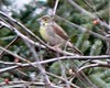 Dickcissel at Bike Path behind Stop and Shop