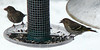 Female House Finch with thick bill on left, Pine Siskin on right