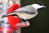 Chickadee 4x6 IMG_2466