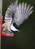 Chickadee 5x7 IMG_2444