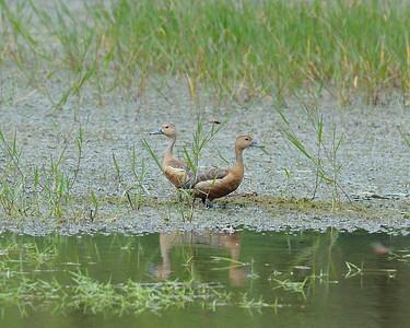 Cormorants, Darters, ducks, Grebes