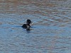 Ring-Necked Duck - Acushnet River View 12/31