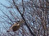 Red-tailed Hawk - Long Road 12/31