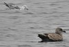 Naughty gulls lie in wait for submerged Goldeneye hoping to steal a fish