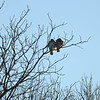 Red-tailed Hawk and Good Friend