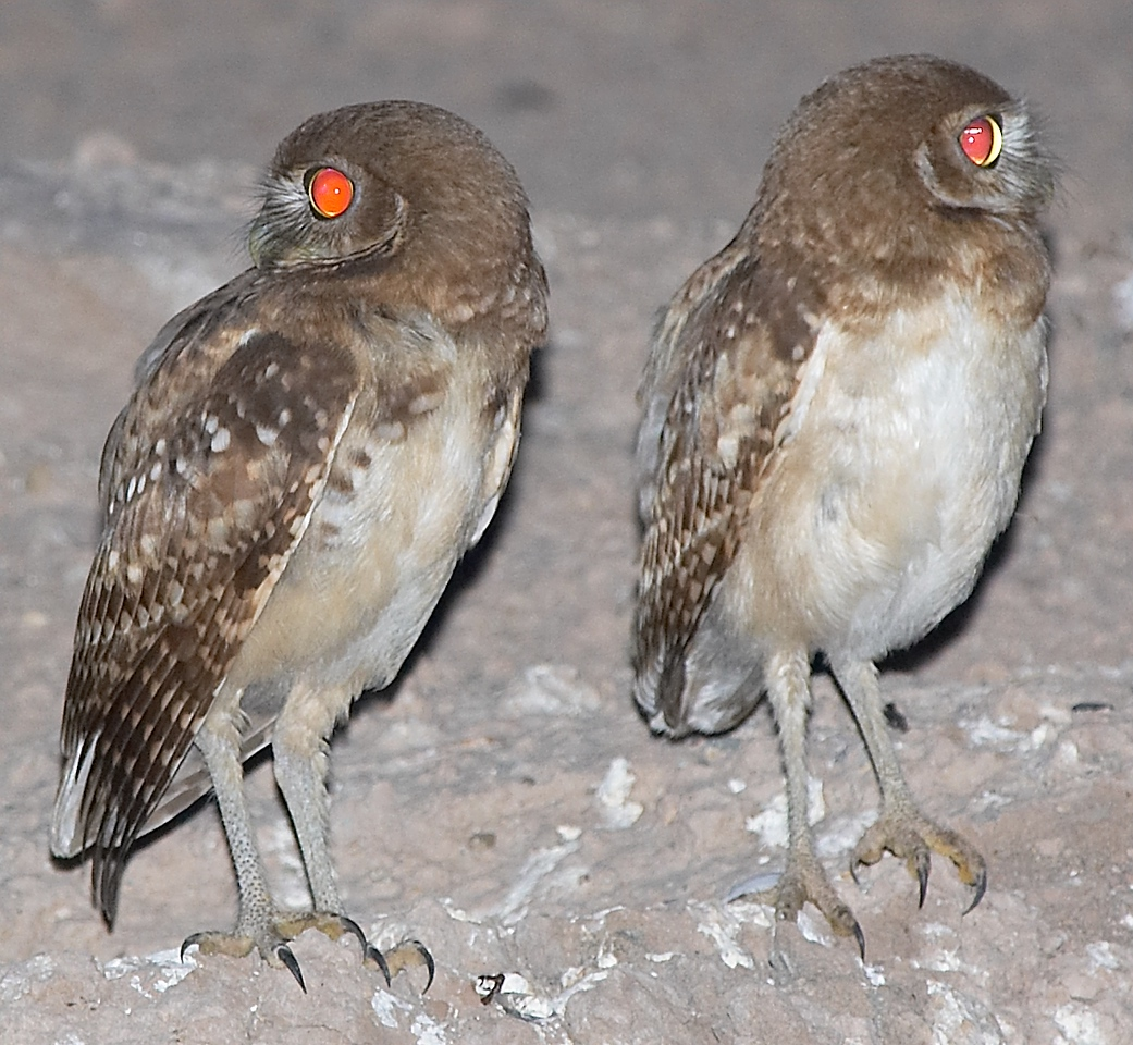 Burrowing Owl's