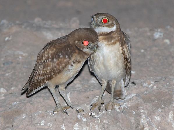 Burrowing Owl's