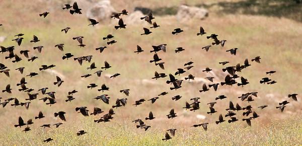 Tricolored Blackbirds