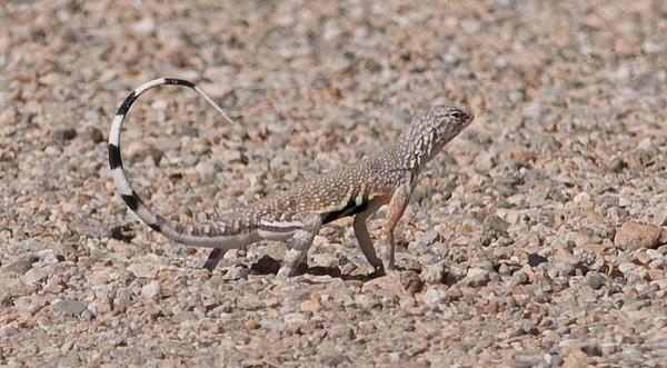 Zebra-tailed Lizard, Tamarisk Grove