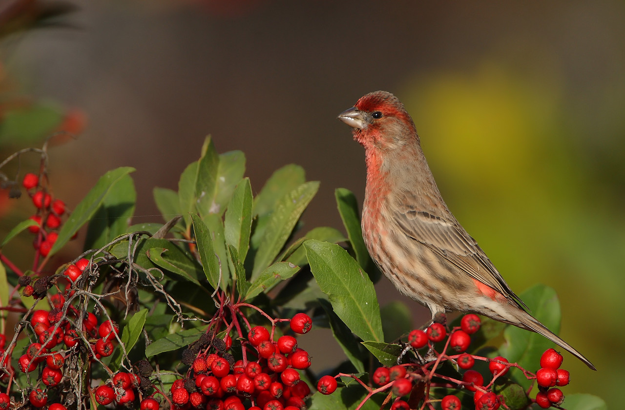 Christmas Finch No snow in So. Cal. but we do get some holiday colors once in a while :)
