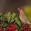 Christmas Finch<br /> No snow in So. Cal. but we do get some holiday colors once in a while :)