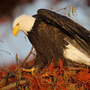 Bald Eagle in a Dawn Redwood Tree. Taken from a kayak in Union Bay, Seattle Washington - November 2009