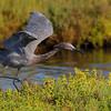 9-5-09<br /> Reddish Egret