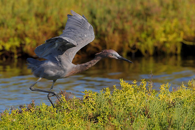 9-5-09 Reddish Egret