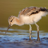 Cute Chick - Avocet 7 days old.